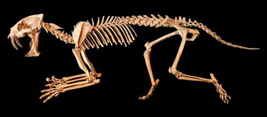 Saber - toothed tiger ( Hoplophoneus primaevus ) skeleton . Isolated background