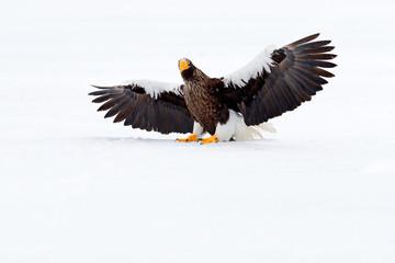 Steller's sea eagle, Haliaeetus pelagicus, flying bird of prey, with blue sea water, Hokkaido, Japan. Wildlife action behaviour scene. Morning sun. Winter Japan with snow. Beautiful cold nature.