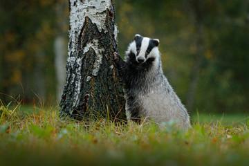 Badger in forest, animal nature habitat, Germany. Wildlife scene. Wild Badger, Meles meles, animal in wood. European badger, autumn pine green forest. Mammal environment, rainy day. Rain forest.