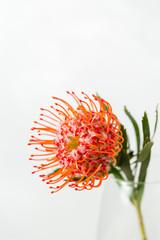 Red Leucospermum Nutans flower on white background
