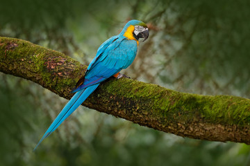 Blue-and-yellow macaw, Ara ararauna, large South American parrot with blue top parts and yellow under parts. Beautiful bird, in the nature habitat. Wildlife Brazil. Wild blue parrot in the forest.