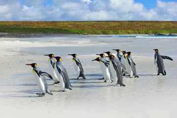 Group of king penguins coming back together from sea to beach with wave a blue sky, Volunteer Point, Falkland Islands. Wildlife scene from nature. cold winter with penguins.  Animal from Antarctica.