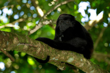 Mantled Howler Monkey Alouatta palliata in the nature habitat. Black monkey in the forest. Black monkey in the tree. Animal in Costa Rica national park. Animal in the tropic forest.