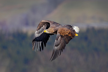 White-tailed Eagle, Haliaeetus albicilla, face flight, bird of prey with forest in background. Animal in the nature habitat, Sweden. Wildlife scene from nature. Eagle fly above the forest meadow.