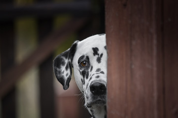 Cute dalmatian dog playing outdoor and hiding