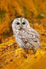 Autumn orange forest. Tawny owl in the orange forest, autumn larch tree. Brown owl sitting on tree stump in the dark forest habitat with catch. Beautiful animal with food. Bird in the Sweden forest.