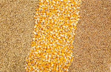Background of corn and grains.