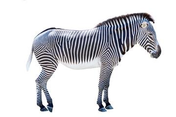 Profile photo of a zebra isolated on white background