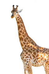 Profile photo of a giraffe isolated on white background