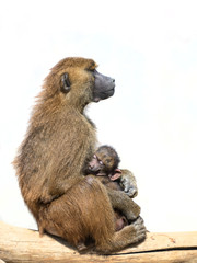 Female baboon holding her sleeping baby child isolated on white background