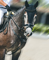 Sorrel dressage horse and rider in white uniform performing jump at show jumping competition. Equestrian sport background. Horse portrait during dressage competition. Copy space for your text.