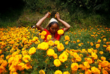 A woman picks marigold flowers used to make garlands and offer prayers, in Kathmandu