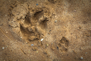 small and big dogs feet prints on a wet sand