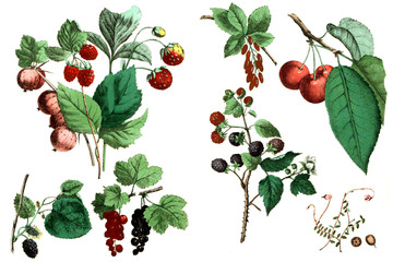 Illustration. Collection of berries.