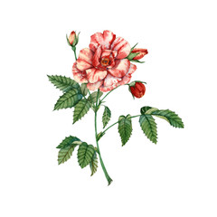 Red rose flower. Botanical illustration. watercolor