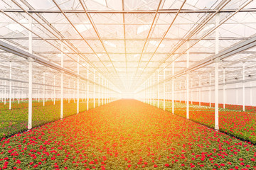 Sunrise over blooming geranium plants in a greenhouse