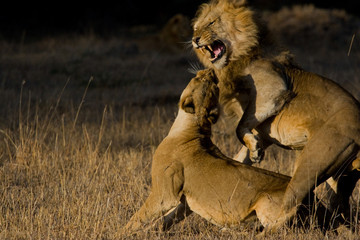 Lion and lioness after copulation