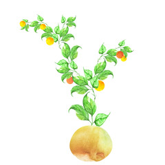 Watercolor drawing. Decorative plant in a pot. A curly green flower, a house plant with green leaves, mandarin, orange, branch with fruits. On white isolated background.