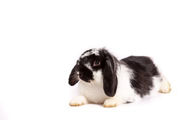 Obraz Królik czarno biały z marchewką - fototapety do salonu