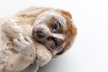 Carcass of a slow loris monkey for education.
