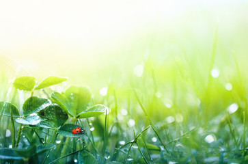Foto auf Acrylglas Frühling Beautiful nature background with morning fresh grass and ladybug. Grass and clover leaves in droplets of dew outdoors in summer in spring close-up macro. Template for design.