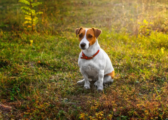 A small cute dog Jack Russell Terrier sitting in autumn park on grass in the rays of the setting sun. Copy space