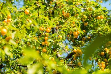 ripe fruits of yellow plum