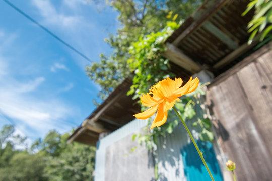 廃屋前に咲く花