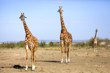 Three giraffes standing on a desolate stretch of ground looking at viewer