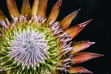 King Protea flower