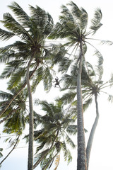 Toddy Tapper, collecting palm wine.. Sri Lanka.