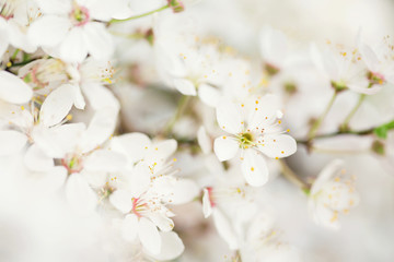 Extreme close-up of wild Plum white flowers in bloom on the tree, Milan, Italy