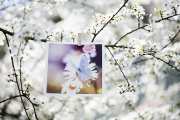 Photograph hangs from Plum tree branch full of blossomed flowers