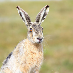 Cute wild hare looking at the camera