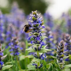 Bee gathering pollen from purple flower