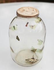 Butterflies captured in a jar