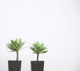 Two plants in dark gray plantpot in front of white wall