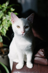 White kitten sitting in a patch of sunlight looking at camera.