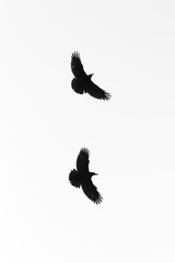 Two crows in flight