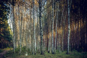 Birkenwald mit Sonnenstrahl