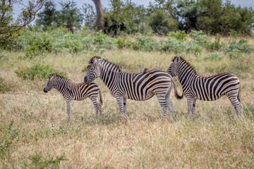Three Zebras standing in the grass.