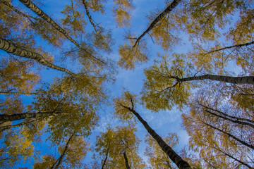 Photo sur Plexiglas Bosquet de bouleaux Березки на фоне неба,