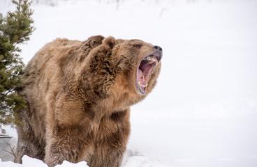bear roaring