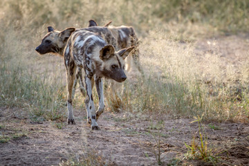 African wild dog looking down at something.