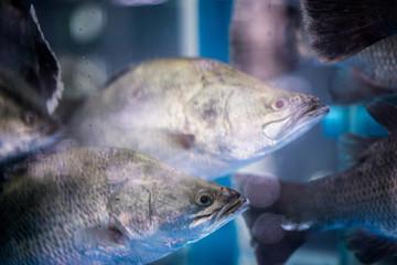 white perch fish