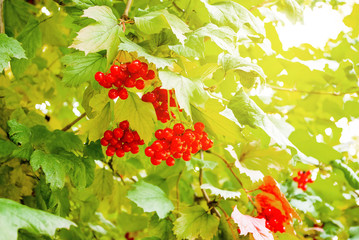 Red clusters of guelder rose on the bush. Autumn berries. Herbal plant