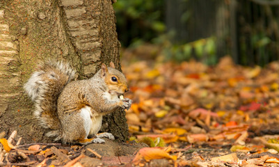 A grey squirrel sits at the base of a tree eating a nut in an autumn fall scene in Greenwich Park, London, United Kingdom