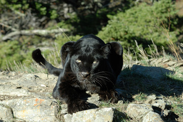 close up of a black leopard