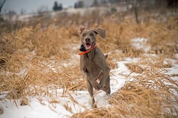 weimeraner dog looking  for bird