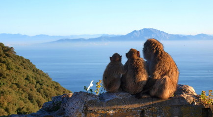 Barbary macaques looking to Africa from Rock of Gibraltar